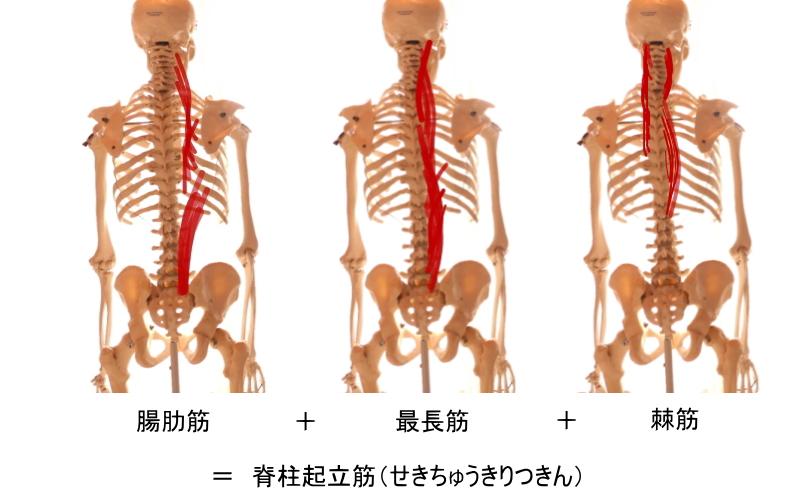 背筋と脊柱起立筋