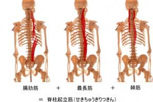脊柱起立筋