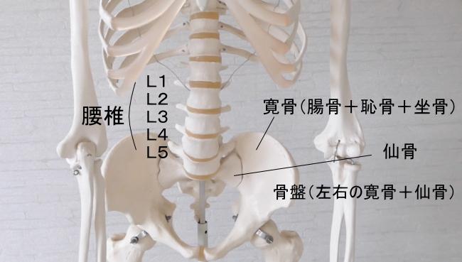 腰方形筋の付着する骨格