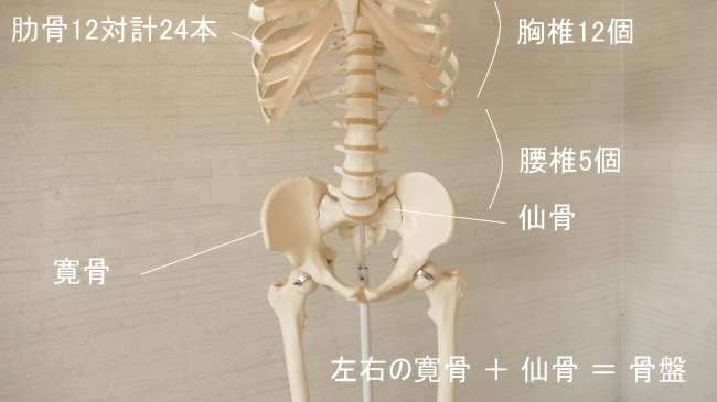 内腹斜筋の付着する骨格