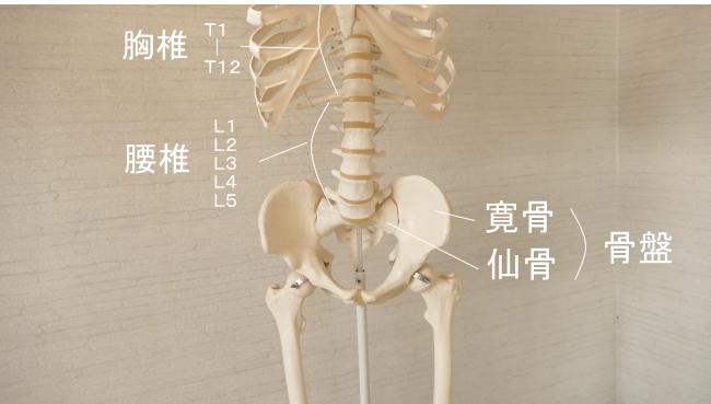 腹筋が付着する骨格