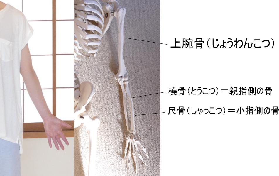 上肢の骨格