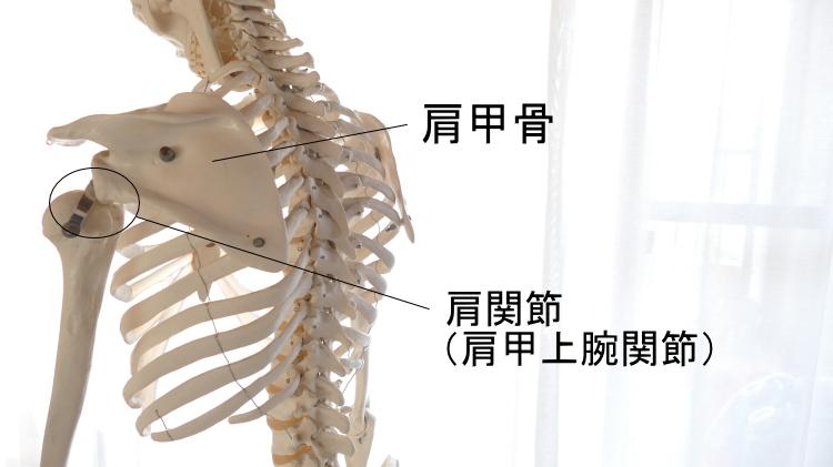 上腕骨と肩関節