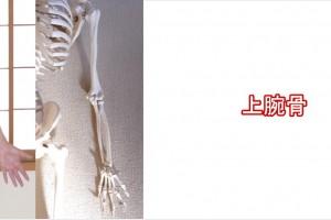 上腕骨・尺骨・橈骨