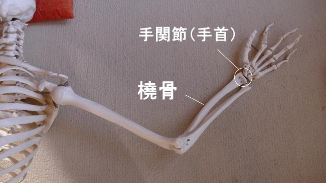 橈骨と手関節