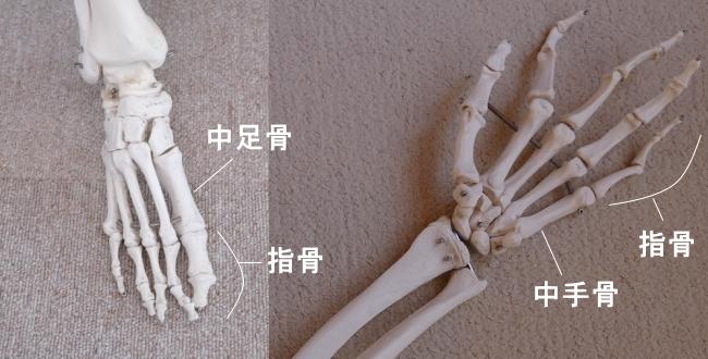 手足の指の骨の種類