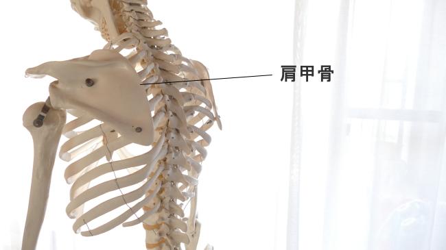 骨の種類、扁平骨。