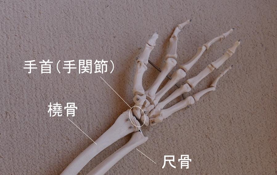 手首の骨格
