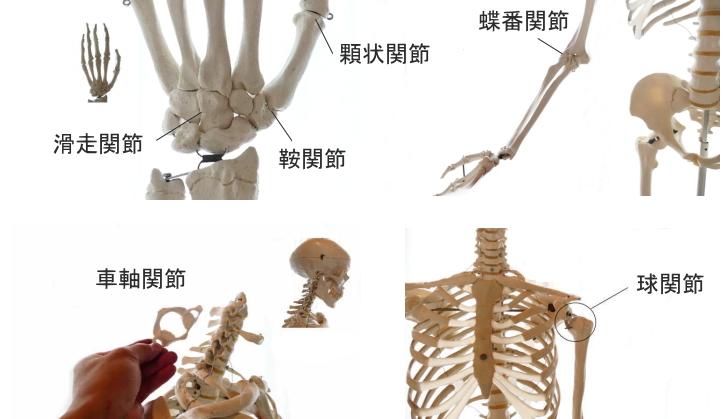 顆状関節とは
